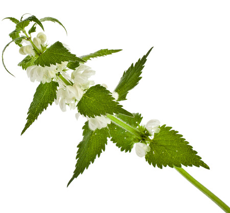 Nettle flowering  Lamium album  isolated on white background