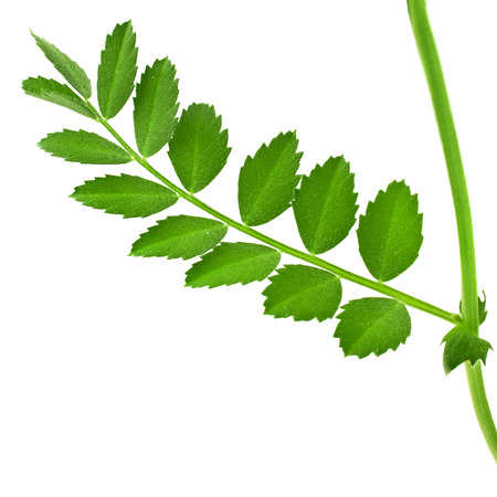One green leaf of peas close up isolated on white background photo
