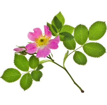 Schöne Zweig rosa Rose mit Wassertropfen Fläche isoliert auf weißem Hintergrund Standard-Bild - 30058715