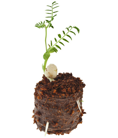 pea seedling in peat pill pot isolated on white background photo
