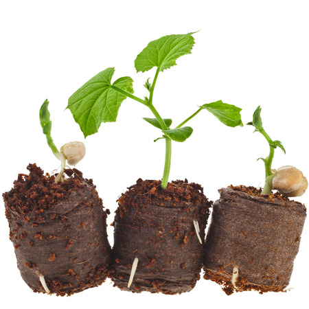 Vegetables Seedlings in peat tablet pot isolated on white background photo