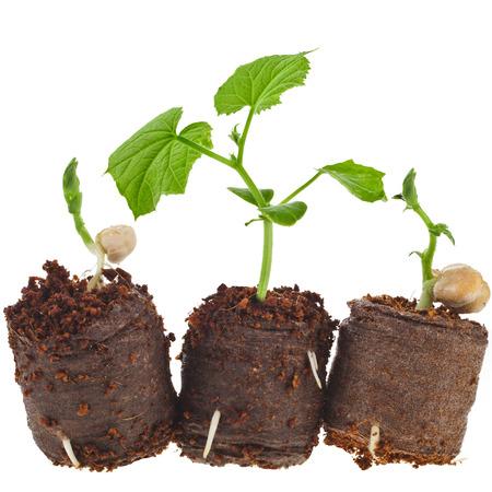 turba: Verduras Las plántulas en maceta de turba tableta aisladas sobre fondo blanco