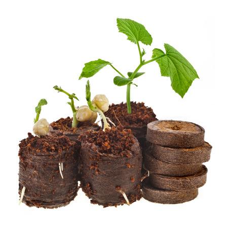 turba: Growing plántulas en turba presionados olla tableta aisladas sobre fondo blanco