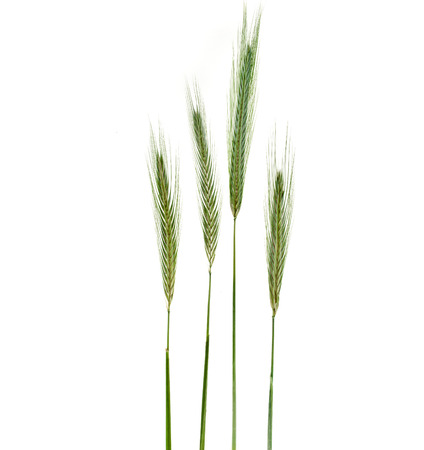 Young Spikelet Barley of green meadow grass isolated on white background photo