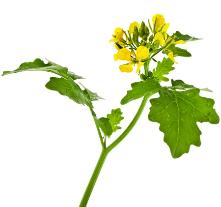mustard plant: White mustard plant flowering close up  Sinapis  isolated on white background