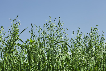Close up shot  green oat field on summer day on blue sky photo