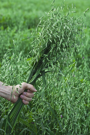 farmer holding a of oat bunch close up in summer sunny day photo