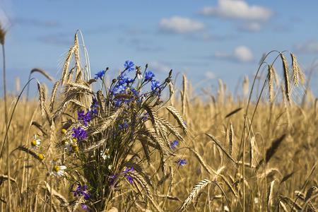 Rye field bunch on a blue sky background photo