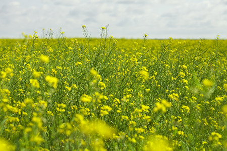 Rapeseed field on a blue sky background photo