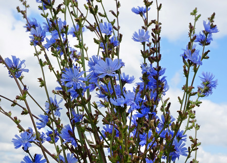 chicory:  bouquet of chicory flowers close up on blue sky