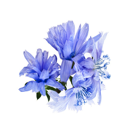 chicory flower: Blue chicory flower isolated on a white background Stock Photo