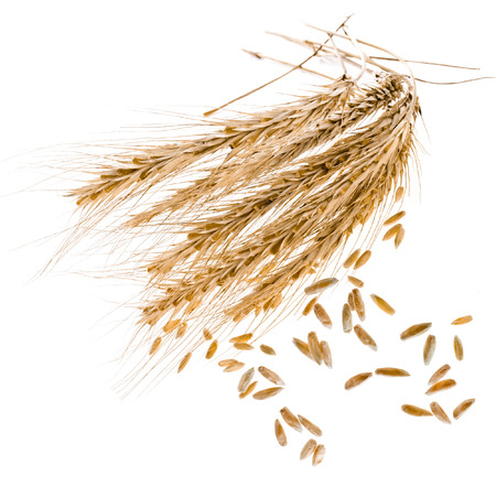 Spikelets and Young Grains of Wheat ears close up isolated on a White Background photo