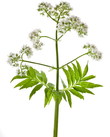 officinalis: Herbaceous plant valerian flowering isolated in front of white background Stock Photo