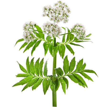 valerian plant: Herbaceous plant valerian flowering isolated in front of white background Stock Photo