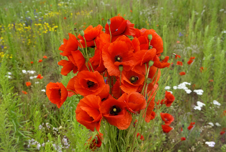 bouquet of bright red poppy flowers in summer                              photo