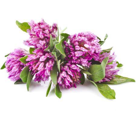 trifolium: Red clover flower  Trifolium pratense  isolated on white background Stock Photo