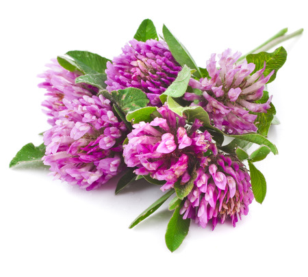 Red clover flower and leaves isolated on white background photo