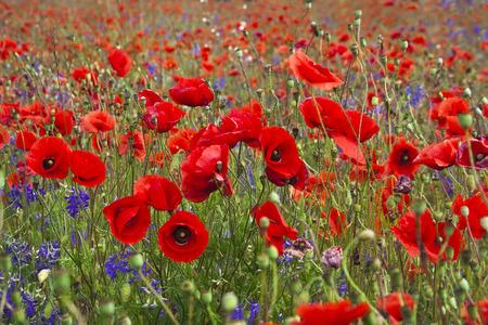 garden cornflowers: Field of bright red poppy flowers in summer day