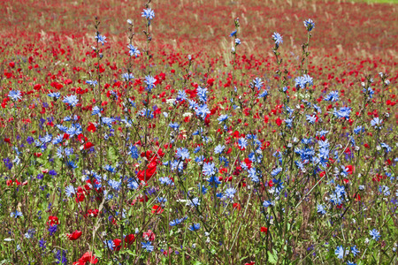 corn flower: Field of bright red poppy flowers with chicory plant in summer day Stock Photo