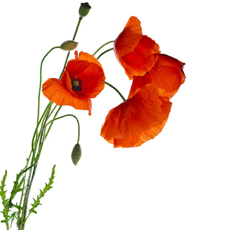 red poppies isolated on a white background Banco de Imagens
