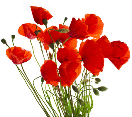 poppy leaf: red poppies isolated on a white background Stock Photo