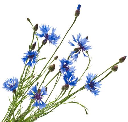 Cornflower: Branch of the blue cornflower flower isolated on white background