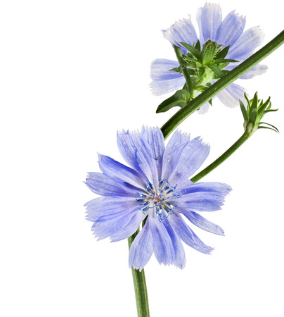chicory coffee: Common chicory flower Cichorium intybus isolated on white background
