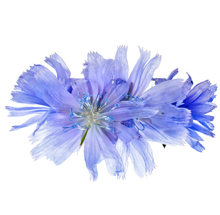 chicory coffee: Cichorium intybus flower isolated on a white background
