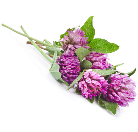 trifolium: Closeup of red clover flower  Trifolium pratense  isolated on white background