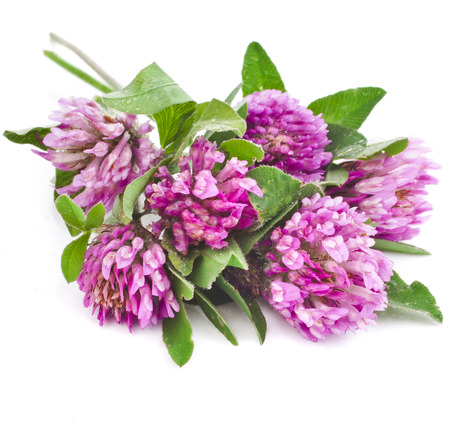 Closeup of red clover flower isolated on white background photo