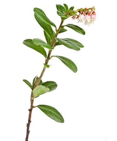 extreme macro: flowering cowberry plant close up macro shot plant isolated on white Stock Photo
