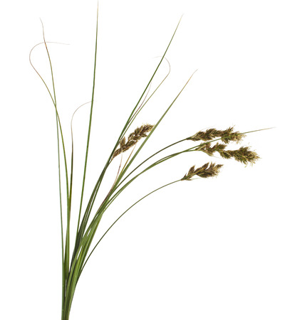 carex: Bunch of SAND SEDGE Carex grass plant  lat  Carex arenaria   Cyperaceae  Isolated on white background Stock Photo