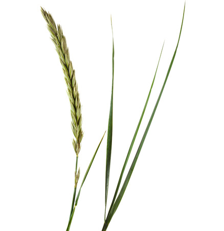 carex: ELYMUS LEYMUS ARENARIUS growing Gulf of Finland Isolated on white background