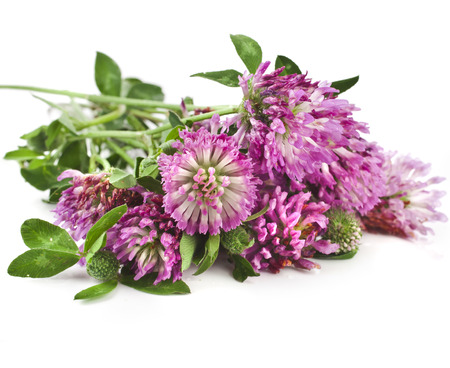 Closeup of red clover flower  Trifolium pratense  isolated on white background