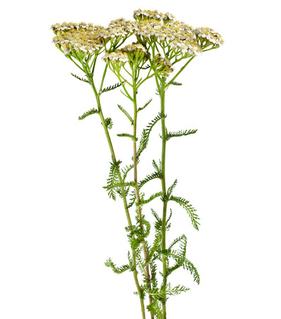 yarrow: Milfoil herbal medicine , Yarrow   Achillea millefolium L