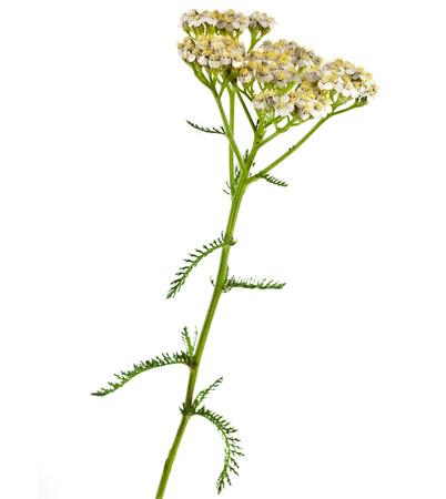 milfoil: Milfoil herbal medicine , Yarrow   Achillea millefolium L