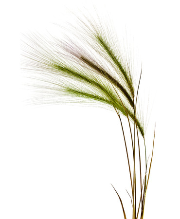 Decorative colorful spikelets isolated on white background photo