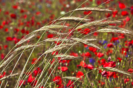 Field of bright red poppy flowers with wheat in summer day photo