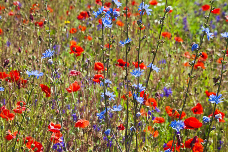 Field of bright red poppy flowers with chicory plant close up in summer day photo