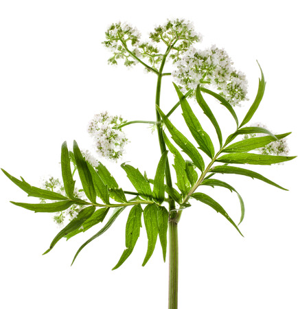 valerian plant: Valerian  Valeriana officinalis  flowering plant isolated in front of white background Stock Photo