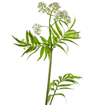 officinalis: Herb plant valerian flowering plant isolated on white background
