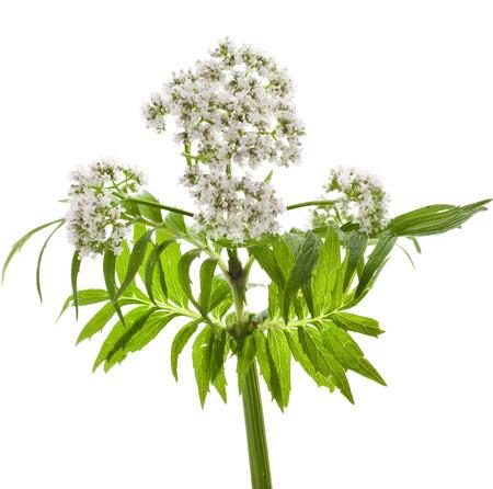 valerian: Erbacea fioritura pianta di valeriana isolato di fronte a sfondo bianco