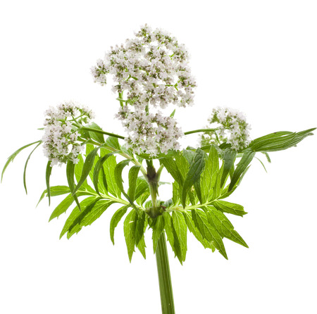 valerian: Herbaceous plant valerian flowering isolated in front of white background Stock Photo
