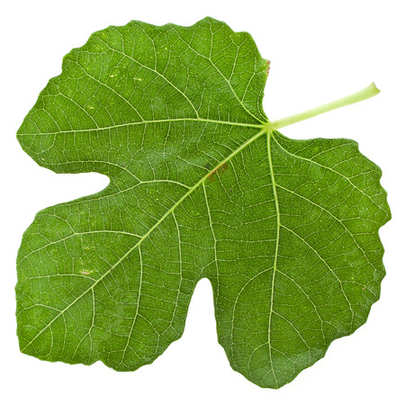 One fig tree leaf surface close up isolated on white background Stockfoto