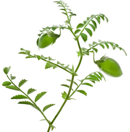 garbanzos: garbanzos planta joven verde aislado en el fondo blanco