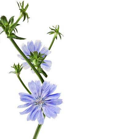 chicory coffee: Blue chicory flower isolated on a white background Stock Photo