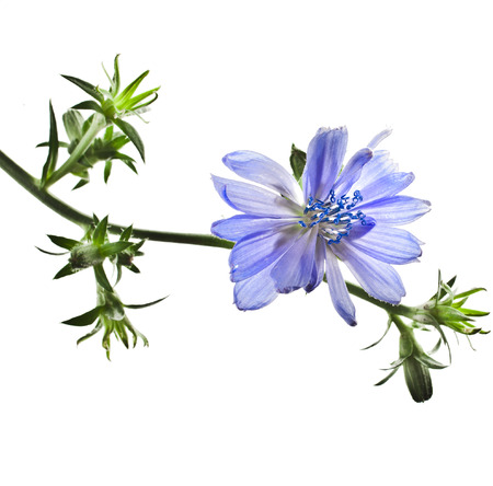 chicory coffee: Common chicory flower Cichorium intybus isolated on a white background