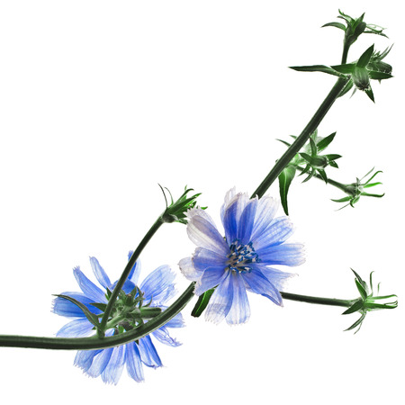 chicory coffee: Cichorium intybus flower on a white background