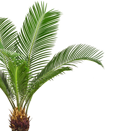 Green palm tree on white background photo