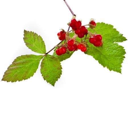 whooping: Wild Forestry Stone Bramble berry (Rubus saxatilis) close up isolated on white background Stock Photo